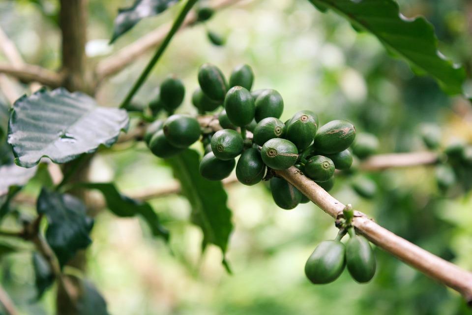 Les propriétés amincissantes du café vert